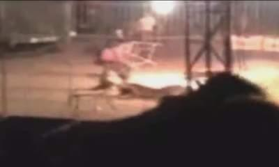 Tiger Attack: Circus Trainer Killed In Mexico