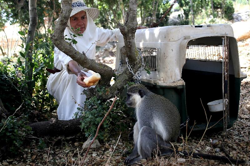 The monkey Tachtouch who breached the border with Israel is being fed by its owner, French nun Beatrice Mauger, after his return to his home in Al Qouzah, southern Lebanon on June 7, 2019 by UN peacekeepers (AFP Photo/Mahmoud ZAYYAT)