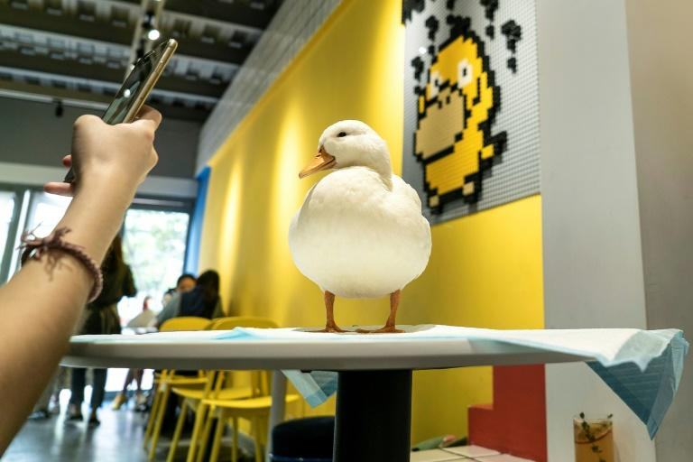 Hey! We Go duck cafe in Chengdu is the latest addition to a growing list of popular animal cafes in China