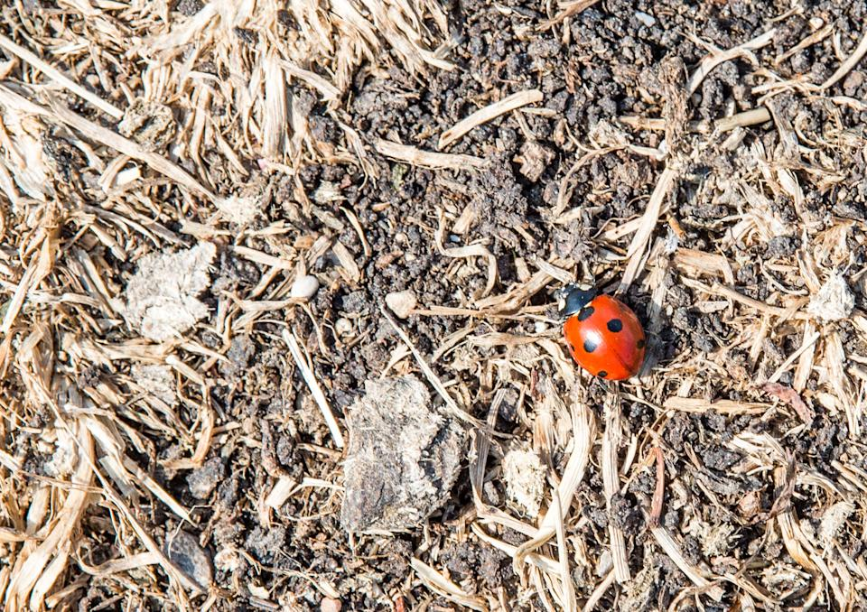 21 August 2018, Germany, Munich: A ladybird runs across a meadow that has dried up during the past drought. Photo: Lino Mirgeler/dpa (Photo by Lino Mirgeler/picture alliance via Getty Images)