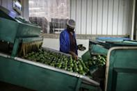 Avocados charge off the packaging line -- many are headed for Europe, where they command premium prices