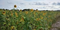 """<p>Want to take your family to a corn maze this season <em>and </em>a sunflower field? Sledd's U-Pick makes it easy to kill two birds with one stone: Their sunflower maze is super popular.</p><p><a class=""""link rapid-noclick-resp"""" href=""""https://go.redirectingat.com?id=74968X1596630&url=https%3A%2F%2Fwww.tripadvisor.com%2FTourism-g34452-Mims_Brevard_County_Florida-Vacations.html&sref=https%3A%2F%2Fwww.countryliving.com%2Flife%2Ftravel%2Fg21937858%2Fsunflower-fields-near-me%2F"""" rel=""""nofollow noopener"""" target=""""_blank"""" data-ylk=""""slk:PLAN YOUR TRIP"""">PLAN YOUR TRIP</a><br></p>"""