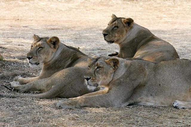 Officials ordered an investigation in June after pictures of Ravindra Jadeja posing in front of a pride of Asiatic lions during a safari in Gir forest went viral on social media (AFP Photo/Raveendran)