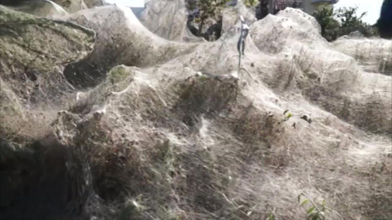 Giants spider webs cover beach in Greek town of Aitoliko