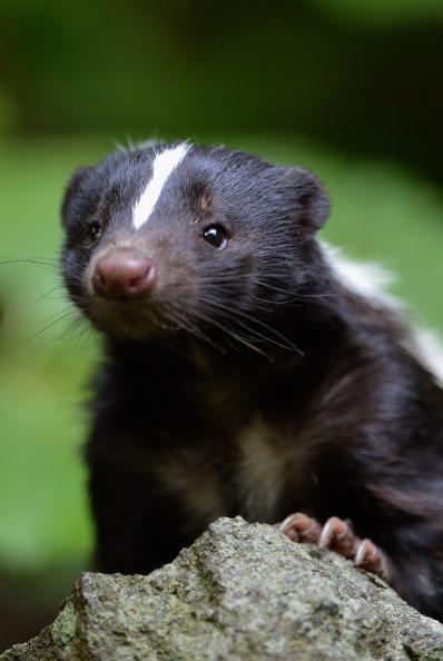Flo the skunk arrives at Edinburgh Zoo from Amneville Zoo in France on June 1, 2012 in Edinburgh, Scotland. Flo has joined a six year old male skunk Fergus, both are striped skunks which are native to North America. These black and white creatures are most iconic for their unique, defensive odour. (Photo by Jeff J Mitchell/Getty Images)