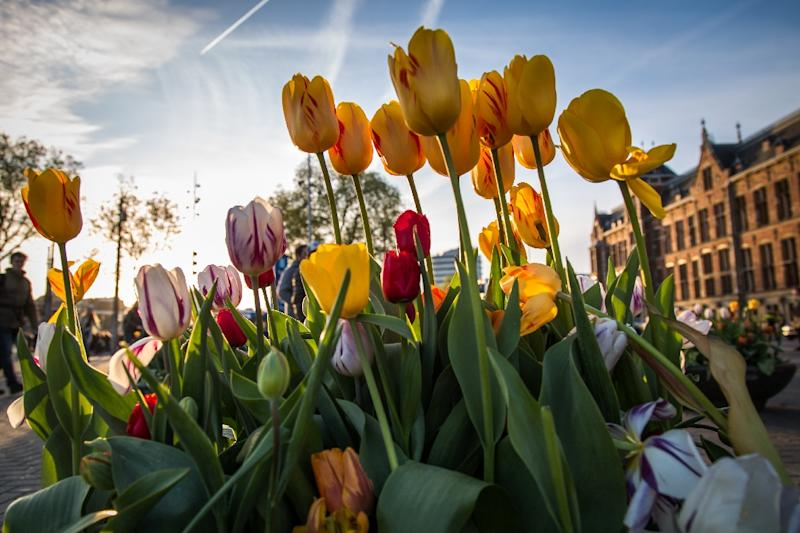 Tulips were all the rage in 17th century Amsterdam (AFP Photo/Aurore Belot)