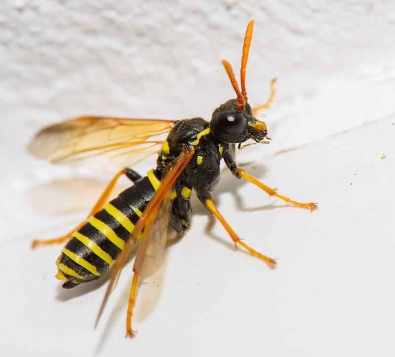 "Stock picture of a wasp. Police have blasted a cowardly 999 caller who wanted brave boys in blue to rush round because her house had been invaded - by a WASP. See SWNS story SWMDwasp. Nottinghamshire Police issued a fresh plea for the public not to misuse the emergency number with trivial calls which delay the force dealing with urgent matters after their time was wasted by the pointless 'home invasion' call. The unnamed caller, from Nottingham, told the specially-trained emergency operator that ""a wasp is in my house and I don't know how to get it outside."" The force said it receives thousands of calls each month - and while the majority are genuine emergencies, there are still ""a number of spurious and misplaced calls""."