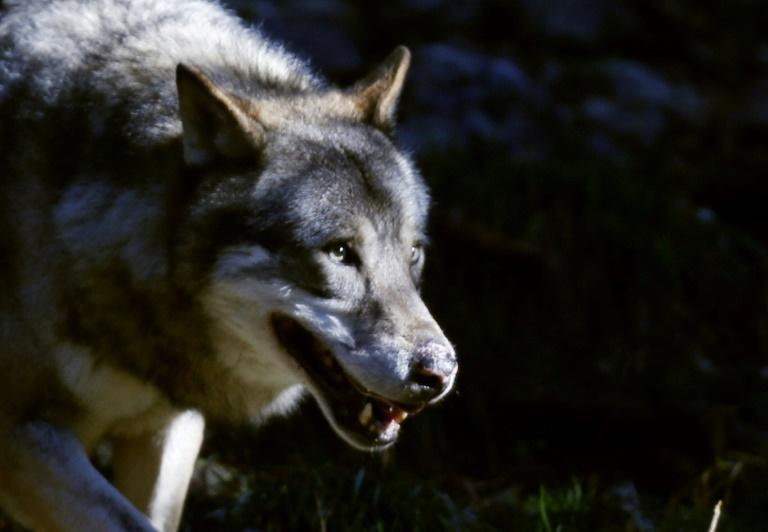The future of the gray wolf in Colorado is also on the ballot in the Rocky Mountain state