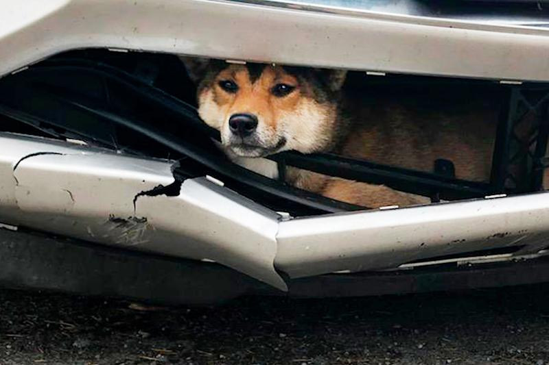 Dog Survives After Being Hit by a Car and Getting Wedged in the Bumper for Miles