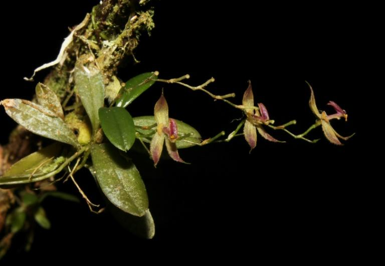 """The recently discovered orchid species """"Andinia tingomariana,"""" found by a group of Peruvian botanists in the central Amazonian forest of Peru at the Tingo Maria National Park"""