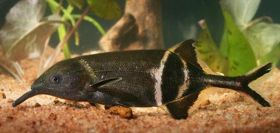 The elephantnose fish (Gnathonemus petersii).