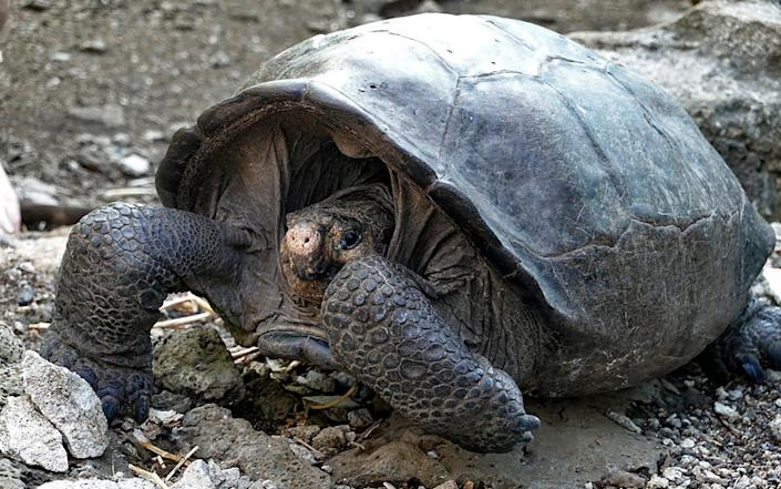 Chelonoidis phantasticus, or the fernandina giant tortoise, was believed to be extinct - GETTY IMAGES