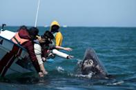 Gray whales migrate from their summer feeding grounds off Alaska to mate and give birth in the warmer waters off Baja California