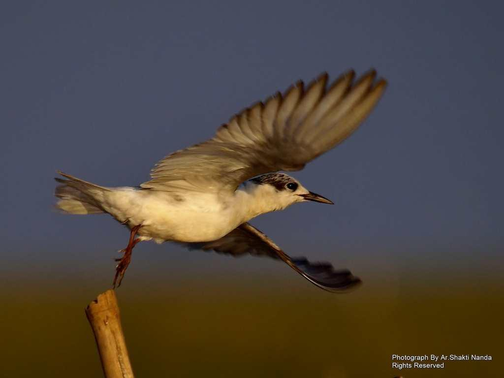<strong>Whiskered Terns</strong> (<em>Chlidonias hybridus</em>) are commonly found in coastal areas but in winter they often fly inland over large rivers and water bodies.