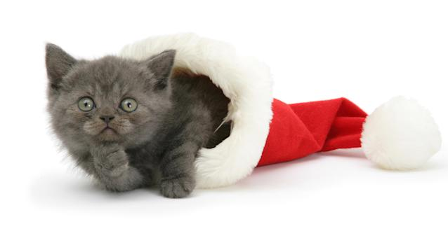 <p>Gray kitten in a Father Christmas hat. (Photo: Warren Photographic/Caters News) </p>