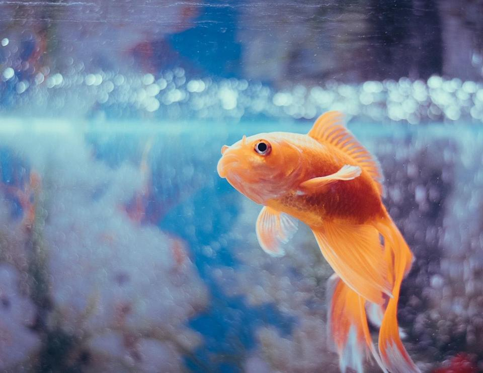 Goldfish/Unsplash