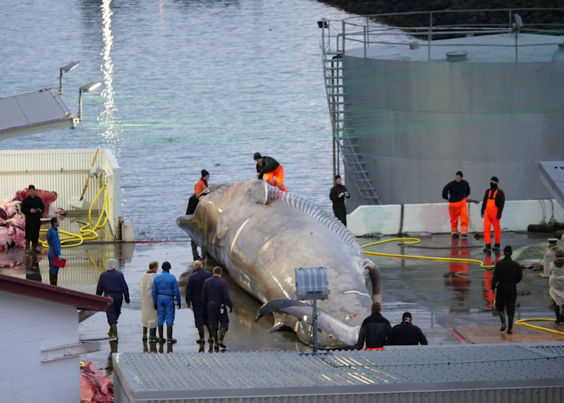 The whale was captured and brought to a port in Hvalfjordur (Hard to Port)