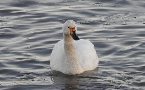 Croupier in 'Swan Lake' at Slimbridge