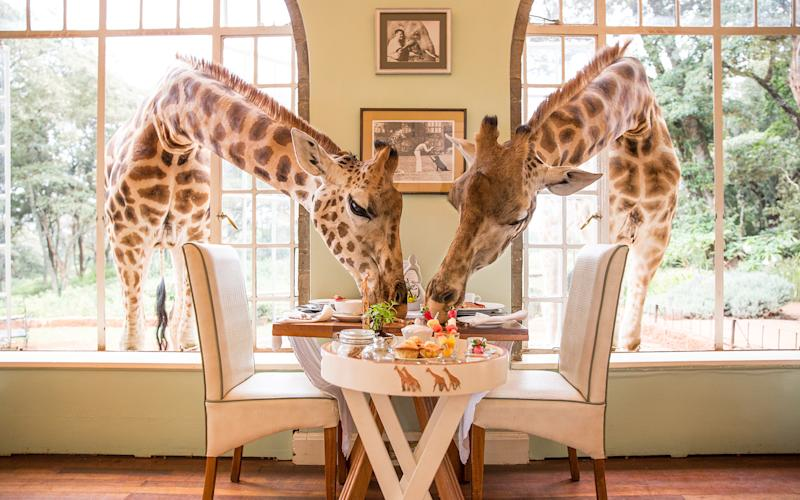 Giraffe Manor, where endangered Rothschild giraffes are known to pop in for breakfast -