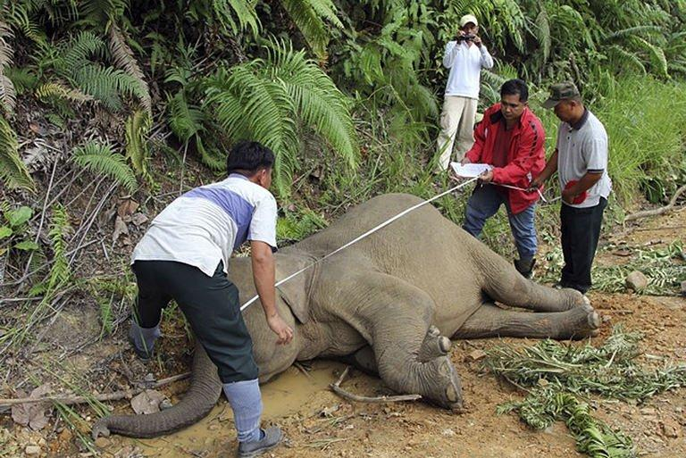 Wildlife department officials measure a dead pygmy elephant in the Gunung Rara Forest Reserve, in Malaysia's Sabah state, Januray 29, 2013. A fourteenth rare Borneo pygmy elephant has been found dead of suspected poisoning, Malaysian officials said Thursday, the latest in a series of fatalities that has shaken conservation efforts