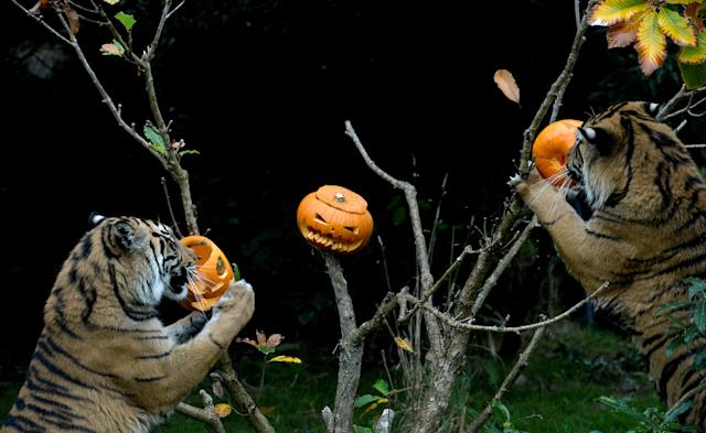 <p>Achilles and Karis, Sumatran tigers, eat pumpkins at a Halloween event at ZSL London Zoo, London, Britain, Oct.26, 2017. (Photo: Mary Turner/Reuters) </p>