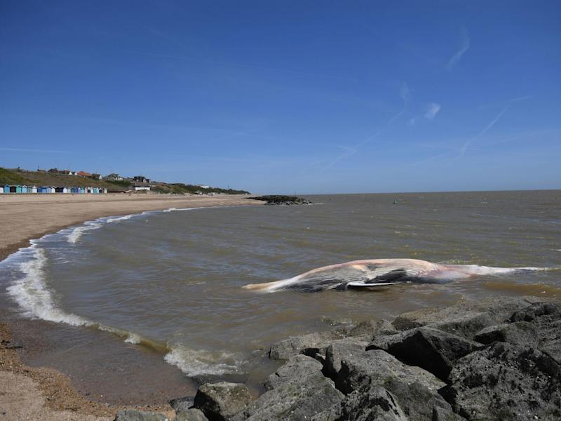 A 40ft-long whale that has washed up on the beach at Clacton-on-Sea in Essex. The giant marine mammal, which has died, was swept to shore on Friday: PA