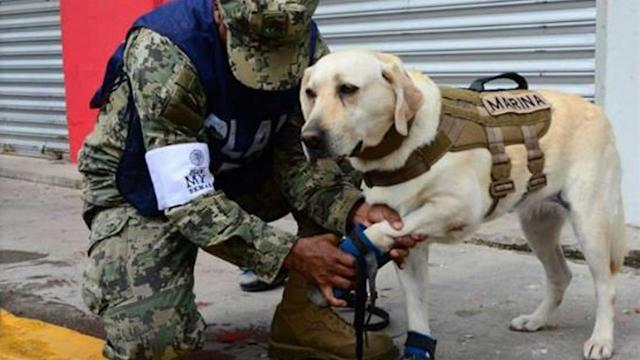 <p>Rescue dog Frida is equipped with a harness, visor and special footwear as she searches for victims after an earthquake struck on the southern coast of Mexico. (Photo: Edgard Garrido/Reuters) </p>