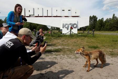 Visitors take pictures of a fox in the abandoned city of Pripyat, near the Chernobyl nuclear power plant