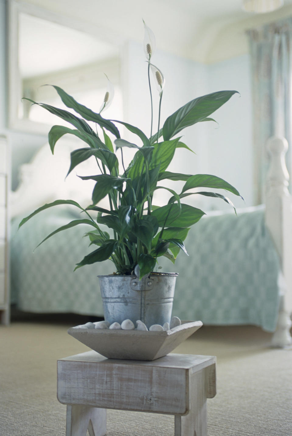 <p>Peace lilies are able to improve air quality by 60%. They can also get rid of mould by absorbing the spores through their leaves and using them as food.<br><i>[Photo: Getty]</i> </p>