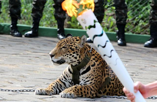"The organisers of the Rio Games have apologised for using a ""chained wild animal"" in an Olympic Torch ceremony after the jaguar, called Juma, had to be shot dead when he escaped (AFP Photo/Jair Araujo)"