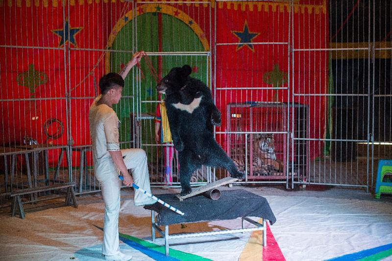 A Harbin black bear performs at the Chinese Prosperous Nation Circus Troupe, which considers its animals a major attraction (AFP Photo/NICOLAS ASFOURI)