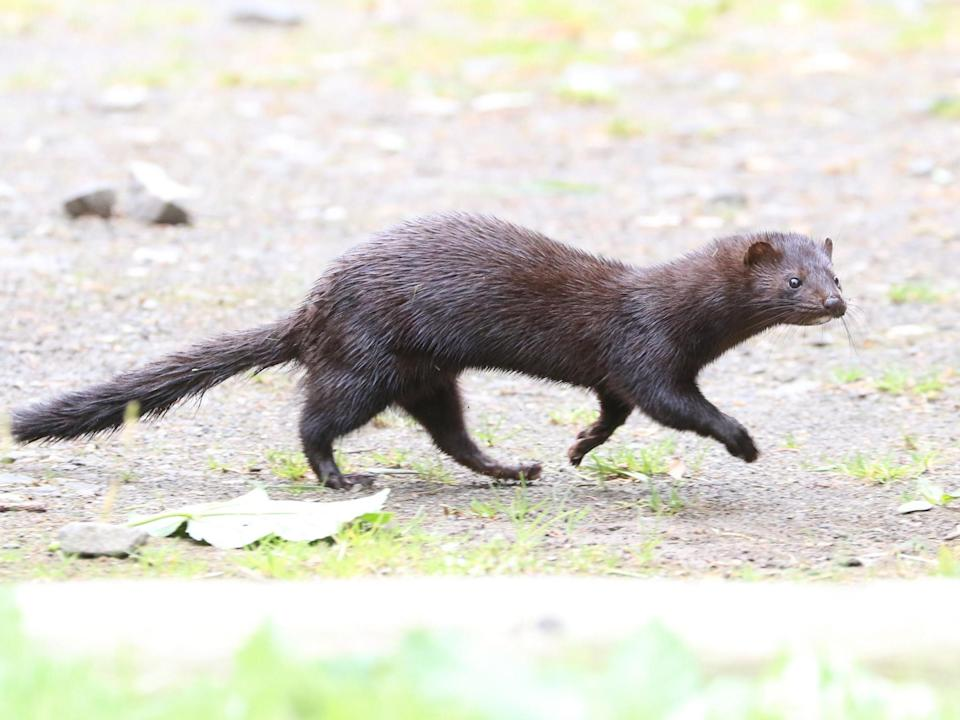 Wisconsin has the largest mink fur farming industry in the United StatesProfessor Tim Blackburn / UCL