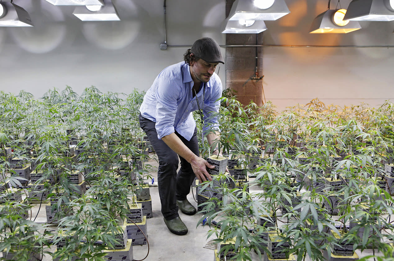 Matthew Huron, owner of two medical marijuana dispensaries and an edible marijuana company in Denver, examining a marijuana plant in his grow house. Medical marijuana is legal in 17 states, but the industry has a decidedly black-market aspect _ it's mostly cash-only. That's because banks won't touch pot money. The drug is illegal under federal law, and processing transactions or investments with pot money puts federally insured banks at risk of drug-racketeering charges. In Colorado, state lawmakers are attempting an end-run around the federal ban by creating a cooperative financial institution for state dispensaries and growers to allow them to store and borrow money.
