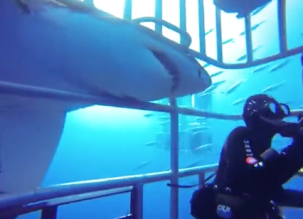 Terrifying moment great white shark attacks diving cage (video)