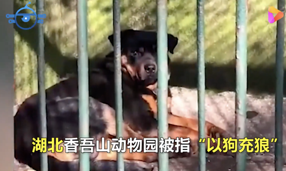 A dog seen in the wolf enclosure at Xiangwushan Zoo in Xianning.
