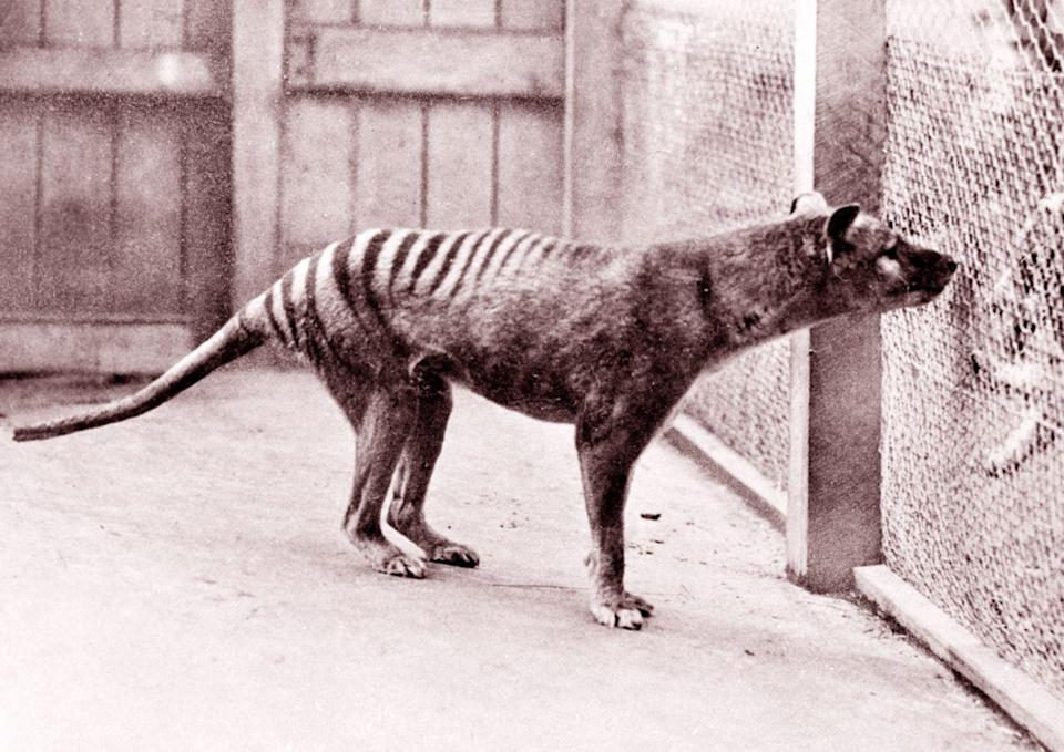 """<p>The Thylacine, a carnivore also referred to as the Tasmanian tiger and Tasmanian wolf, was a (mostly) nocturnal marsupial that preyed on rodents and kangaroos.</p><p>Although Thylacine's looked fierce, they were actually quite timid and, according to <em>Live Science</em>, """"<a href=""""https://www.livescience.com/58753-tasmanian-tiger-facts.html"""" rel=""""nofollow noopener"""" target=""""_blank"""" data-ylk=""""slk:could be captured without a fight"""" class=""""link rapid-noclick-resp"""">could be captured without a fight</a>."""" Reports of Thylacine sightings have been so frequent in the past century that it <a href=""""https://www.livescience.com/58483-search-for-extinct-tasmanian-tiger.html"""" rel=""""nofollow noopener"""" target=""""_blank"""" data-ylk=""""slk:sparked an investigation"""" class=""""link rapid-noclick-resp"""">sparked an investigation</a> as to the status of their existence.</p><p><strong>Cause of Extinction:</strong> it is believed that Dingo populations threatened the Thylacine into extinction in addition to over-hunting from humans.</p>"""