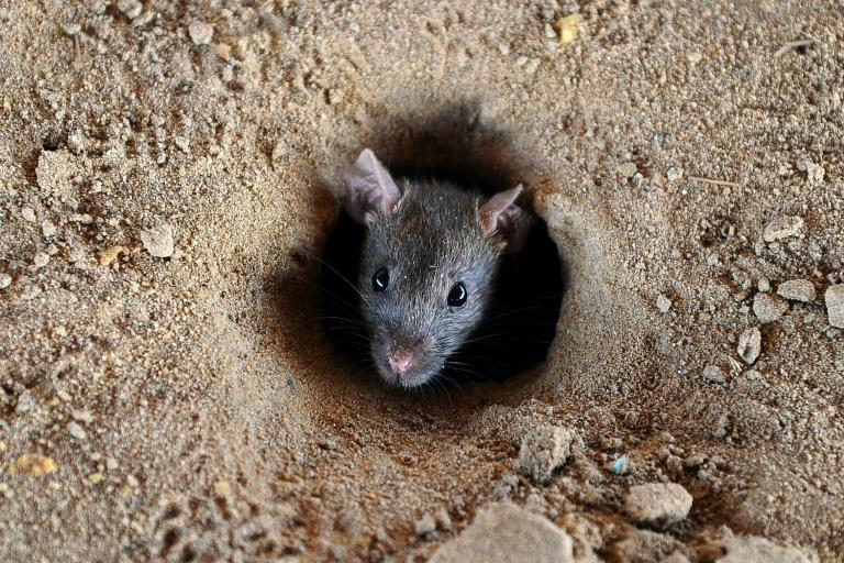 Rat fever, or leptospirosis, is transmitted in water containing urine from rodents and other animals