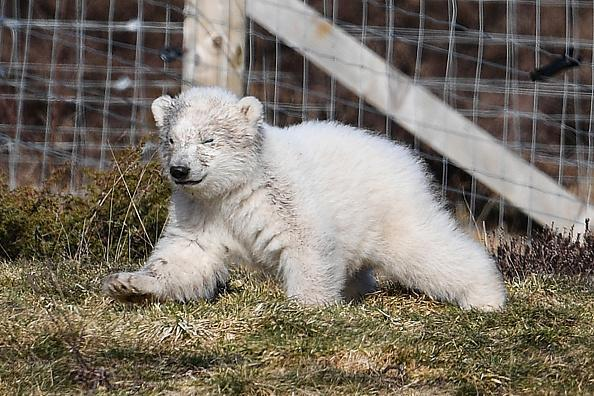 The Royal Zoological Society of Scotland announced that its female polar bear Victoria gave birth at Highland Wildlife Park to the first cub to be born in the UK for 25 years. (Photo by Jeff J Mitchell/Getty Images)