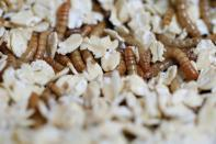 Insects on the menu: EU gives green light to eating mealworms