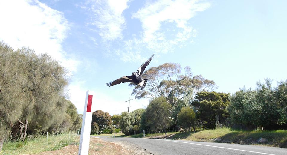Australian magpies are notorious for swooping. Source: Getty Images