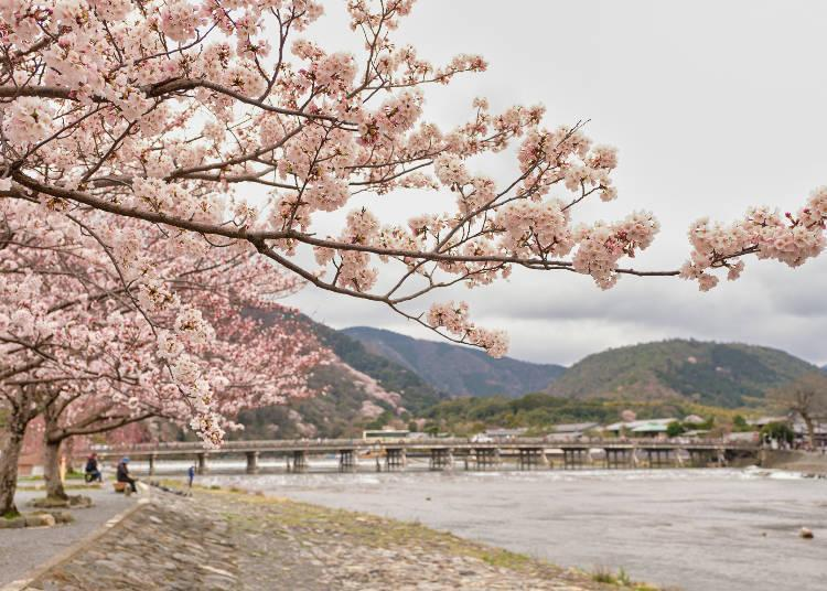 A great view of the Kyoto cherry blossoms along with the Togetsukyo Bridge and Katsura River
