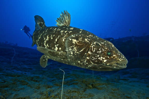 At a 427-foot (130 meters) depth off Sodwana Bay in South Africa, the extant coelacanth L. chalumnae swims in its natural environment.