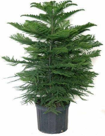 """Spruce up your home with a small, indoor evergreen, the perfect festive greenery for a cabin feel. <a href=""""https://www.etsy.com/listing/537744144/norfolk-island-pine-in-10-pot"""" target=""""_blank"""">Shop it here</a>.&nbsp;"""
