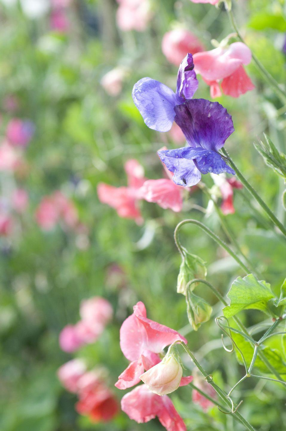 """<p>The delicate form and delightful fragrance of sweet peas are reminiscent of quaint English gardens. Most types are climbers, so they'll need a trellis or fence to support them. They grow well from seed, but you'll want to plant them early indoors to give them a head start. Otherwise, hot weather (which they despise!) will arrive before they have a chance to bloom. They like full sun best.</p><p><a class=""""link rapid-noclick-resp"""" href=""""https://www.amazon.com/Davids-Garden-Seeds-Flower-Pollinated/dp/B07C587P45/?tag=syn-yahoo-20&ascsubtag=%5Bartid%7C2164.g.35511393%5Bsrc%7Cyahoo-us"""" rel=""""nofollow noopener"""" target=""""_blank"""" data-ylk=""""slk:SHOP SWEET PEAS"""">SHOP SWEET PEAS</a></p>"""