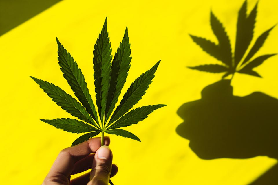 Female fingers hold a beautiful hemp leaf in the sun, its shadow on a yellow background