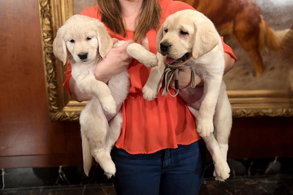 A Golden Retriever puppy and a Labrador Retriever puppy of The American Kennel Club's Most Popular Breeds Nationwide for 2017 are shown at AKC Headquarters on March 28, 2018 in New York City. (Photo by Ben Gabbe/Getty Images)