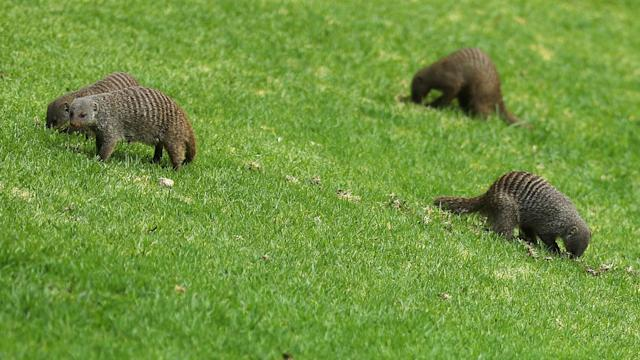 Tommy Fleetwood was approaching the end of his first round at Sun City when a group of mongooses took a liking to his golf ball.