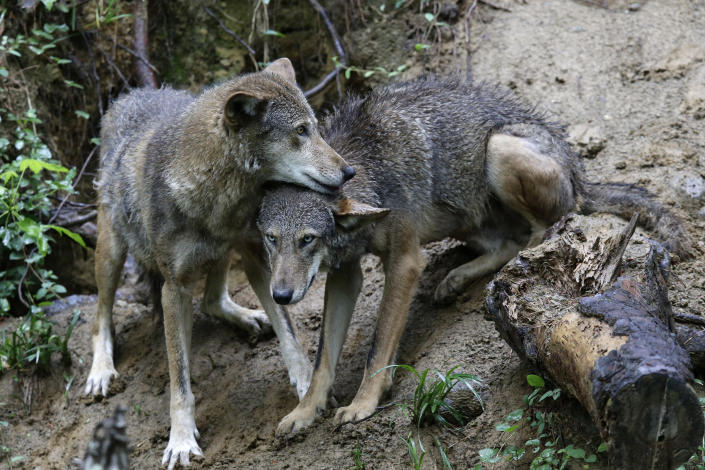 FILE - In a Monday, May 13, 2019 file photo, a pair of red wolves huddle at the Museum of Life and Science in Durham, N.C. Wildlife advocates have returned to court to prod the federal government to jump-start recovery efforts for the critically endangered red wolf, while North Carolina Gov. Roy Cooper issued a sharply worded letter urging further action. Amid the pressure, federal biologists plan to transfer wolves from elsewhere into the recovery area for the first time in years to promote wild breeding. (AP Photo/Gerry Broome, File)