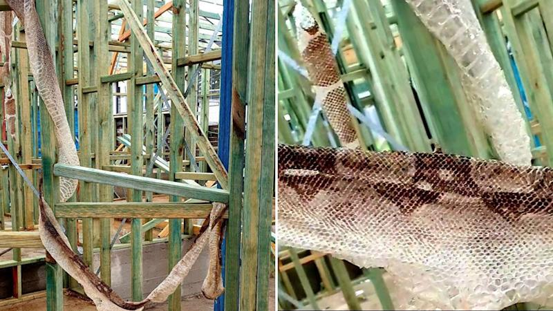 Residents were warned of the large boa constrictor after its skin was found in Sydney, Source: Australian Snake Catchers.