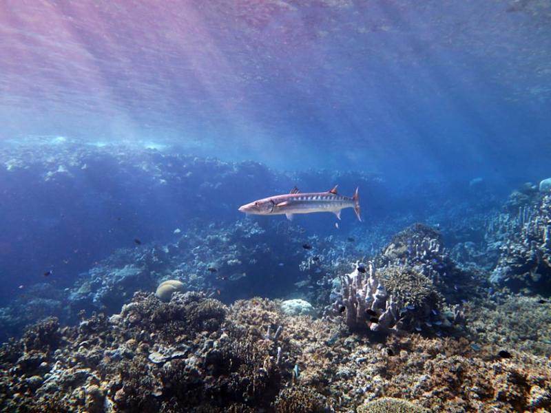 A barracuda guards the entrance while diving in Mirror Pond. Source: Dive Planit